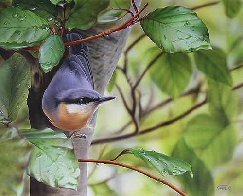 nuthatch painting by Carl Thompson